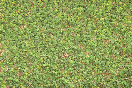 Grüne Baumwand hautnah Standard-Bild