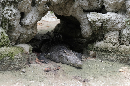 Crocodiles close up in Thailand 写真素材