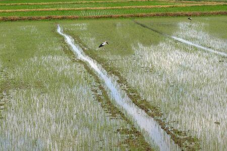 Rice in the field 版權商用圖片