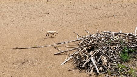 dog running on dry sandy ground
