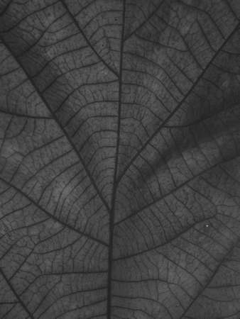dry black and white leaf texture Banque d'images