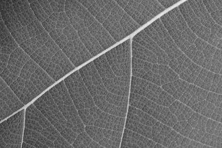 dry black and white leaf texture Stock Photo