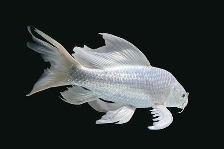 plancton: Pescados de la carpa de platino en fondo negro mesas de acuario
