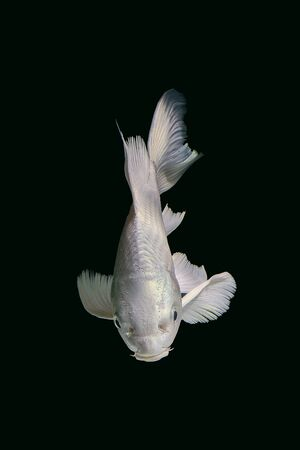 gills: platinum carp fish in aquarium cabinet black background Stock Photo