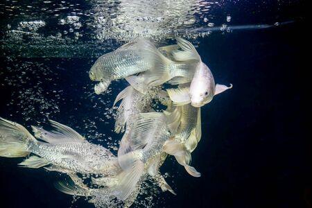 platinum: platinum carp fish in aquarium cabinet black background Stock Photo