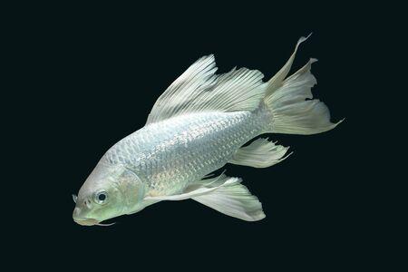platinum carp fish in aquarium cabinet black background Stock Photo
