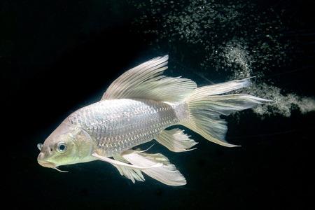 ichthyology: platinum carp fish in aquarium cabinet black background Stock Photo
