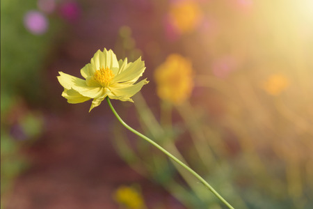 blooming yellow cosmos in cosmos garden Stock Photo