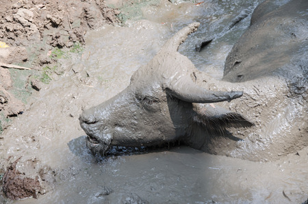 played: Buffalo played mud in thailand