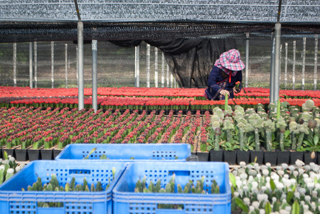 cactus species: Women staff and small cactus plant nursery at the farm different cactus species