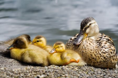 A group of ducklings with an adult duck sleeping on the lake shore Stock Photo - 5332375
