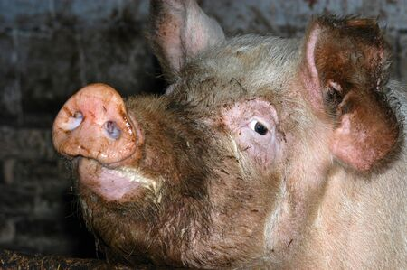 impure: Muddy pig in the pigsty