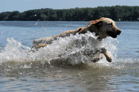 Happy yellow Labrador jumping into the water