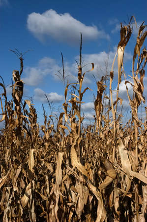 foreshadowing: Close-up of corn field, nice blue sky and white clouds as background                                 Stock Photo