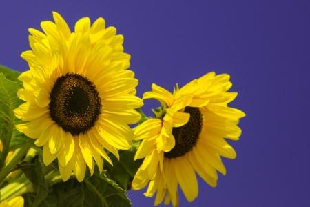Sunflower on blue sky photo