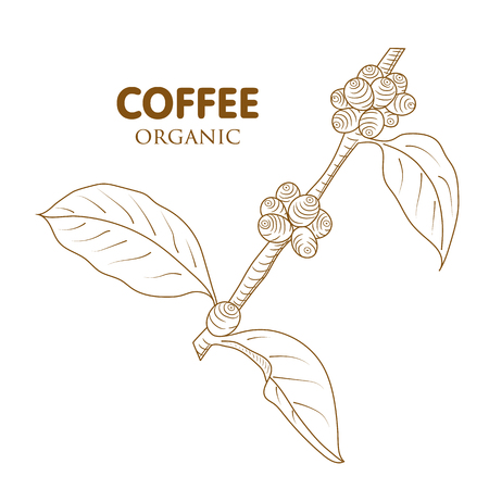 Coffee tree . Engraved style illustration. Vintage coffee frame. isolated on white