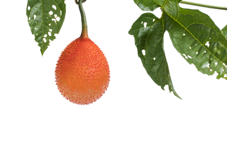 Gac fruit, Baby Jackfruit, Spiny Bitter Gourd, Sweet Grourd or Cochinchin Gourd with green leaf on white background