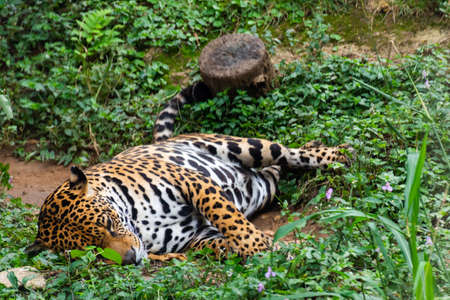 Jaguar resting in the forest Stock Photo