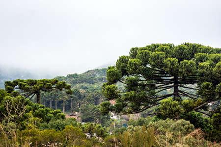 Araucarias in the Monte Verde mountain range