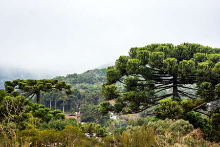 Araucarias in the Monte Verde mountain range