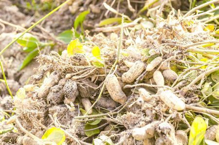 dug: Peanuts dug from the soil.