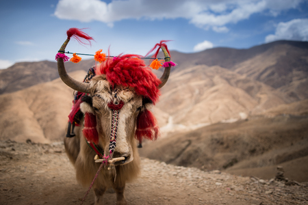 alp: A yak decorated with Tibetan accessories in front of rocky background. Stock Photo