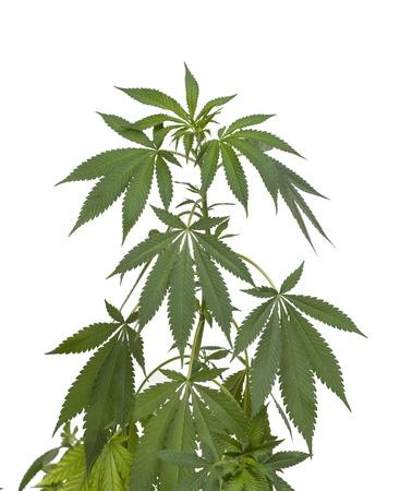 marihuana: Planta de marihuana aislado en blanco