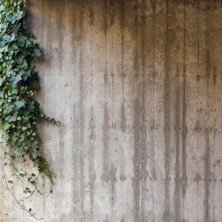 質感の灰色のコンクリートに緑のツタ壁背景