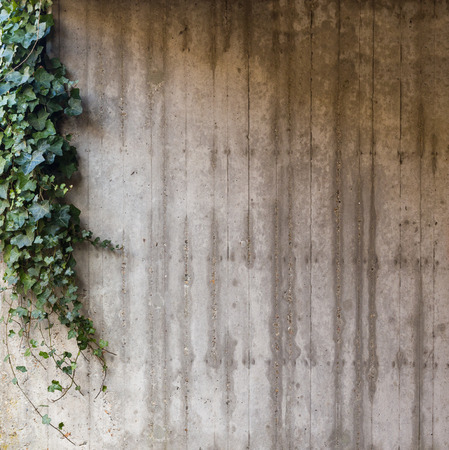 Green ivy on grey concrete textured wall background