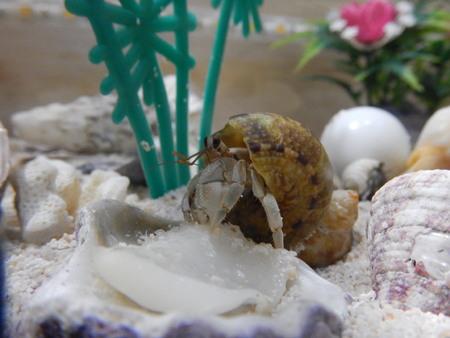 hermit: Hermit Crabs