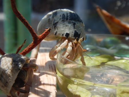 hermit crabs: Hermit Crabs