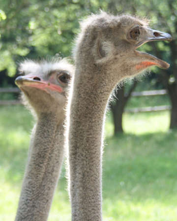 Portrait of an ostriches with a humorous expression photo