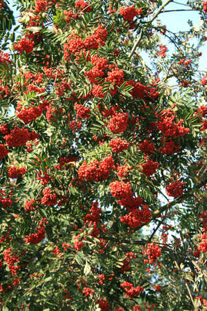 sorbus aucuparia: rowan tree with red berry latin: Sorbus aucuparia