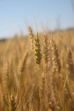 Wheaten field an autumn during harvesting Stock Photo - 3605557
