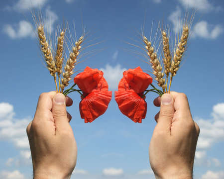 in hands wheat and red poppy photo