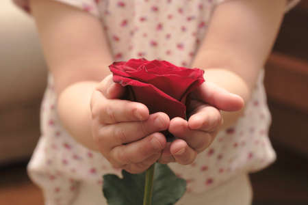 childs hands hold the flower of rose photo