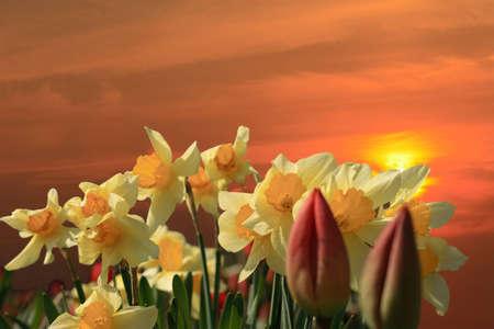 narcissus on sunset background