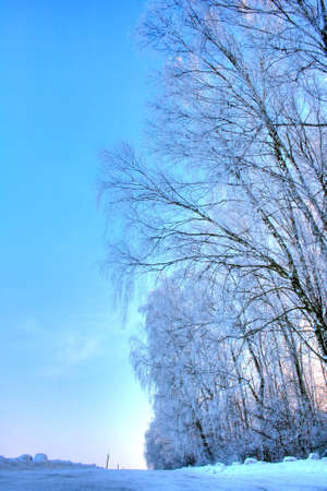 Forest. Winter landscape. Birch Grove Stock Photo - 11118190