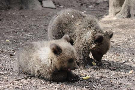 scamper: little bear in a zoo