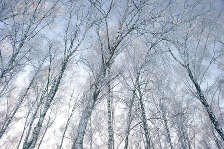 winters: winters. birch grove Stock Photo