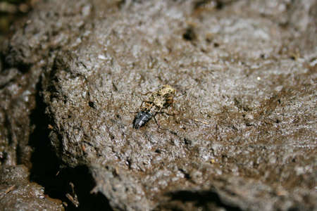 beetle on a pile of fresh manure photo