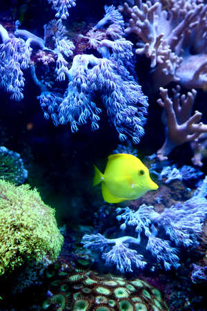 The underwater world. The yellow fish against coral Stock Photo - 14799511