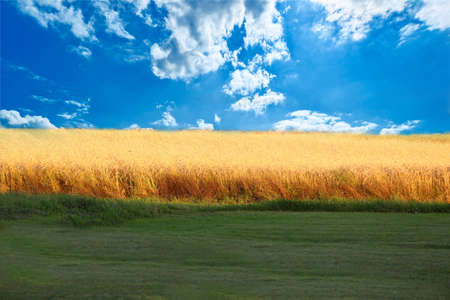 wheat field, a beautiful sky and green grass photo
