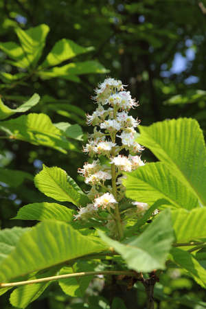 chestnut tree in bloom photo