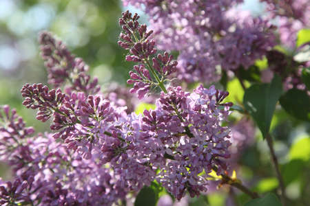 luster: luster of lilac blossoms