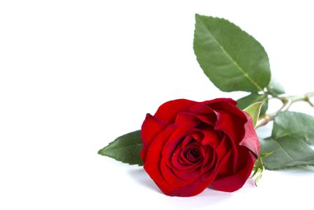 beautiful red rose on a white background Stock Photo - 3013605