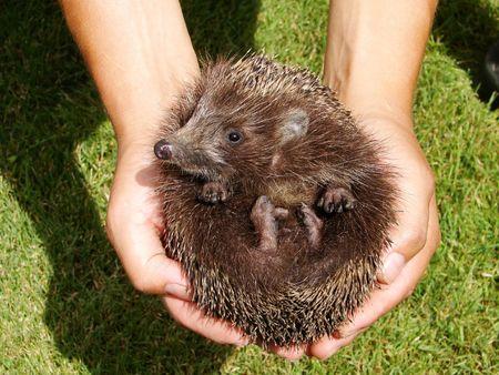 hedgehog Stock Photo - 3017373