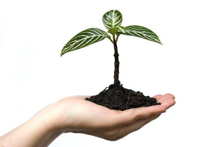replant: Alberello Hand holding nel suolo su bianco