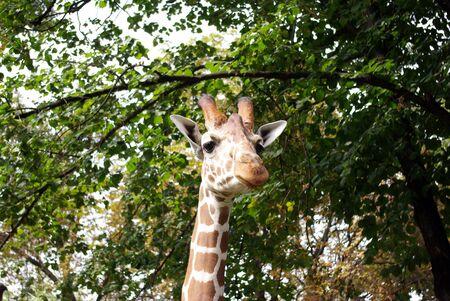 A portrait of a Giraffe  photo