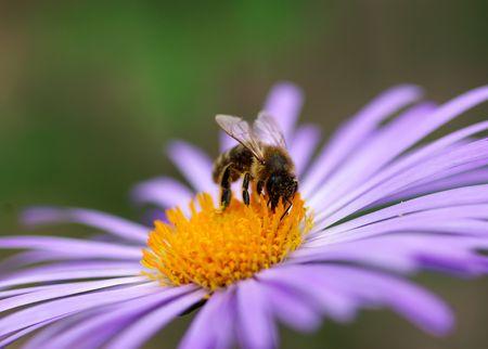 calceolaria: fiori viola e ape